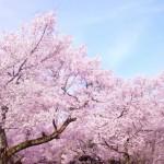 桜 お花見!東京でランキング上位の人気スポット、ここがおすすめ!