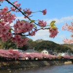 伊豆の河津桜、見ごろは?祭り 場所 最新情報はこちら!