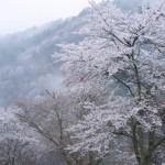 吉野山の桜へのアクセス、おすすめは?大阪から吉野山、どう行ったらいい?混雑は?