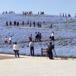 茨城 ひたち海浜公園のネモフィラの丘、画像あり、今年の見頃は?