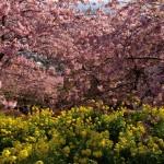 松田町の河津桜、桜まつりに行ってきました。