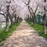 北上の桜といえば展勝地、さくらまつりの渋滞、駐車場、周辺情報はこちら