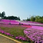 秩父 芝桜へのアクセス 車での渋滞、駐車場は?周辺のみどころは?