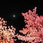 相模湖 プレジャーフォレストの桜、見頃は?夜桜イルミネーションの時間は?割引券ってあるの?