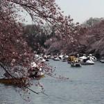 吉祥寺で花見!今日の井の頭公園、桜の開花状況!夜桜も♪画像あり