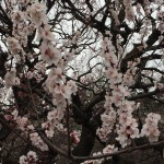 神代植物公園の桜まつりは来週から!調布からバスのアクセスは?