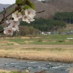 岩手・遠野の桜の開花状況、今日はこんな景色でした